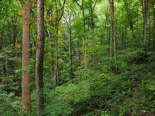 Appalachian cove forest on Baxter Creek Trail in Great Smoky Mountains National Park