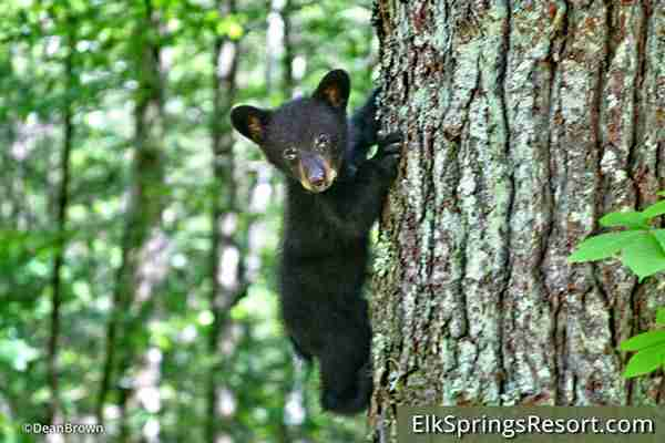 Gatlinburg Hiking Bear Safety