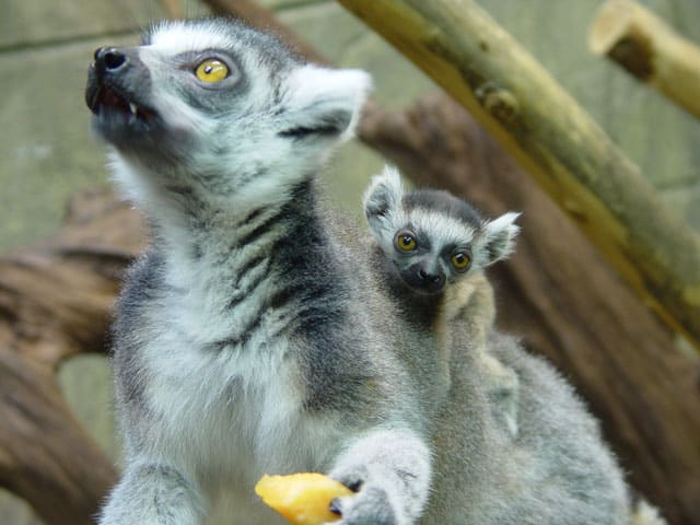 Baby Lemurs at Rainforest Adventures Discovery Zoo in Gatlinburg