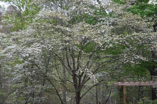 Gatlinburg Cabins - Dogwood in the spring