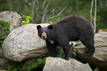 Seeing Bears in Gatlinburg