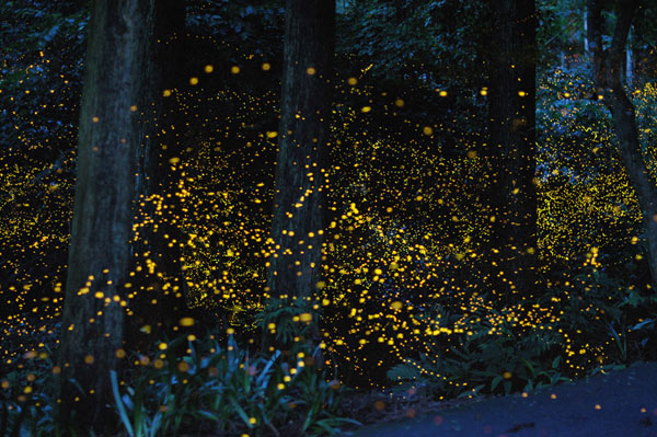 Gatlinburg Synchronized Fireflies