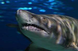 ripley-shark