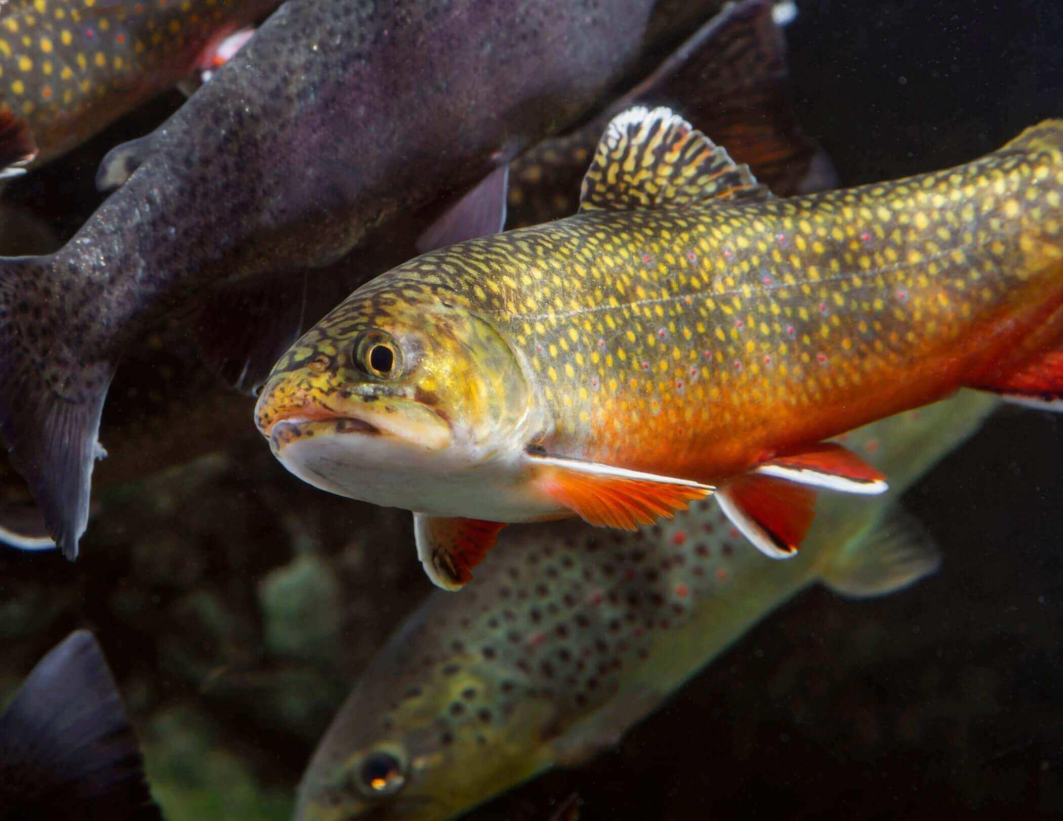 Gatlinburg Trout & Fly Fishing Guide